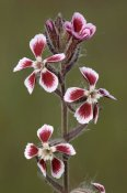 Jean Claessens - Common Catchfly flowers, Le Muy, France