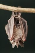 Murray Cooper - Leaf-nosed Bat, Amazon, Ecuador