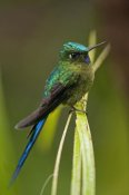 Murray Cooper - Violet-tailed Sylph male, Ecuador