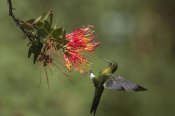 Murray Cooper - Golden-breasted Puffleg hummingbird feeding on flower nectar, Ecuador