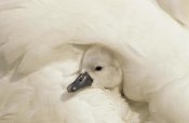Flip De Nooyer - Mute Swan cygnet under its parent's wing, Europe