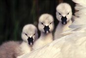 Flip De Nooyer - Mute Swans three cygnets on parent's back, Europe