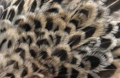 Flip De Nooyer - Ring-necked Pheasant close up of female's feathers, Europe