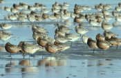 Flip De Nooyer - Black-tailed Godwit flock resting in estuary at high-tide, Europe