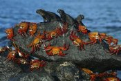Tui De Roy - Sally Lightfoot Crabs and Marine Iguanas, Mosquera Island, Galapagos Islands, Ecuador