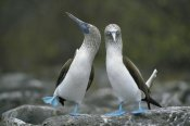 Tui De Roy - Blue-footed Boobies in courtship dance, Punta Cevallos, Galapagos Islands, Ecuador