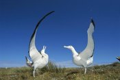 Tui De Roy - Gibson's Wandering Albatross courtship display, Adams Island, Auckland's Group, New Zealand