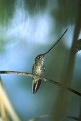 Tui De Roy - Sword-billed Hummingbird, Papallacta Valley, Andes Mountains, Ecuador