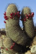 Tui De Roy - Fishhook Cactus in bloom, Santa Catalina Island, Sea of Cortez, Baja California, Mexico