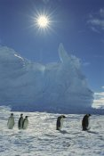 Tui De Roy - Emperor Penguin commuters returning to rookery, Riiser-Larsen Rookery, Weddell Sea, Antarctica