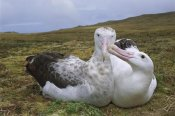 Tui De Roy - Tristan Wandering Albatross male nibbling females bill, Gough Island, South Atlantic