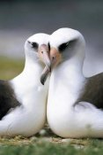 Tui De Roy - Laysan Albatross pair bonding, Midway Atoll, Hawaii