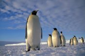 Tui De Roy - Emperor Penguin group, Kloa Point, Edward VIII Gulf, Antarctica