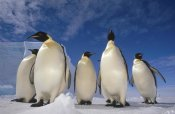 Tui De Roy - Emperor Penguin group, near Ekstrom Ice Shelf, Weddell Sea, Antarctica