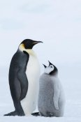 Tui De Roy - Emperor Penguin with chick begging for food, Prydz Bay, eastern Antarctica