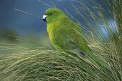 Tui De Roy - Antipodes Parakeet portrait in tussock grass, Antipodes Island, New Zealand