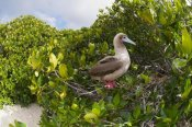 Tui De Roy - Red-footed Booby perching beside nest in mangroves, Galapagos Islands, Ecuador
