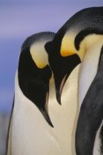 Tui De Roy - Emperor Penguin courting pair, Atka Bay, Princess Martha Bay, Weddell Sea, Antarctica