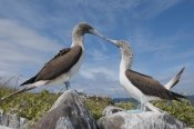 Tui De Roy - Blue-footed Boobies in courtship dance, Galapagos Islands, Ecuador