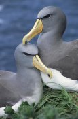 Tui De Roy - Chatham Albatross affectionate pair, critically endangered, The Pyramid, Chatham Islands