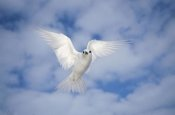 Tui De Roy - White Tern also known as Fairy Tern, hovering in search of nest site, Midway Atoll, Hawaii