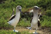 Tui De Roy - Blue-footed Booby pair performing courtship dance, Seymour Island, Galapagos Islands, Ecuador