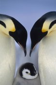 Tui De Roy - Emperor Penguin parents greeting chick, Atka Bay, Princess Martha Coast, Weddell Sea, Antarctica