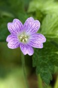Bert de Vette - Close-up of Endres Cranesbill flower