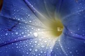 Sterre Delemarre - Waterdrops on Morning Glory