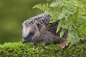 Ernst Dirksen - West European Hedgehog behind a fern, Nethelands