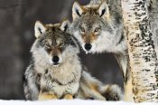 Jasper Doest - Gray Wolf pair in the snow, Norway