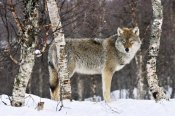 Jasper Doest - Gray Wolf in the woods, winter, Norway