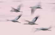 Jasper Doest - Common Cranes in flight, Lake Hornborga, Sweden