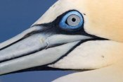 Jasper Doest - Northern Gannet profile, Saltee Islands, Ireland