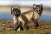 Jasper Doest - Two Arctic Fox kits on the tundra, Svalbard,Norway