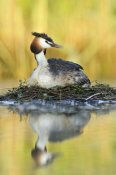 Jasper Doest - Great Crested Grebe on floating nest, De Biesbosch National Park, Netherlands
