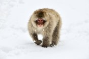Jasper Doest - Japanese Macaque walking through the snow, Jigokudani Joshinetsu Kogen National Park, Japan