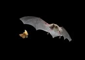 Michael Durham - Little Brown Bat pursues a forest moth