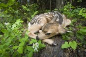 Michael Durham - Newborn Mule Deer fawn, waiting for the return of its mother, Siuslaw National Forest, Oregon