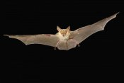 Michael Durham - Pallid Bat flying at night, Washington