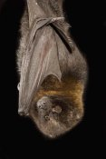 Michael Durham - Rodrigues Flying Fox roosting, native to Rodrigues Island