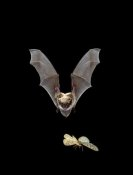 Michael Durham - Yuma Myotis bat, female pursuing a moth on the wing, Oregon