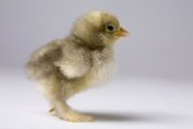 Michael Durham - Domestic Chicken, banty morph, about one week after hatching