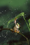 Michael Durham - Red-eyed Tree Frog in rain, native to Central and South America