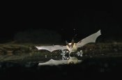 Michael Durham - Western Long-eared Myotis bat, drinking from pond, Deschutes National Forest, Oregon