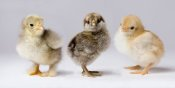 Michael Durham - Domestic Chicken chicks showing genetic variation used to bring out traits that help poultry producers