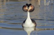 Danny Ellinger - Great Crested Grebe courtship display, Europe
