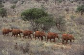 Gerry Ellis - African Elephant young orphans, Tsavo East National Park, Kenya
