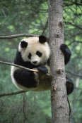 Gerry Ellis - Giant Panda in tree