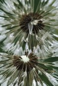 Gerry Ellis - Dandelion seed head, North America